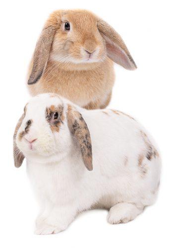 mazuri-rabbit